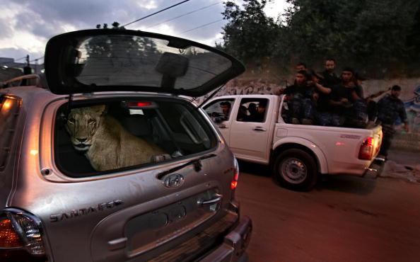 Abid Katib「Hamas Executive Force Police Return A Stolen Lioness To Gaza Zoo」:写真・画像(16)[壁紙.com]