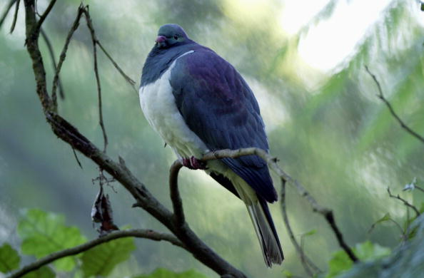 Pigeon「The Kereru, New Zealand Native Wood Pigeon.」:写真・画像(13)[壁紙.com]