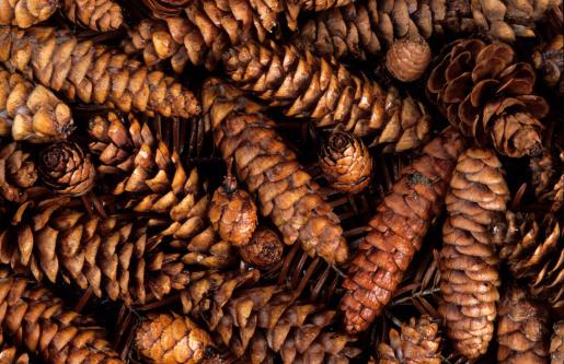 Pine Cone「Pine cones」:スマホ壁紙(10)