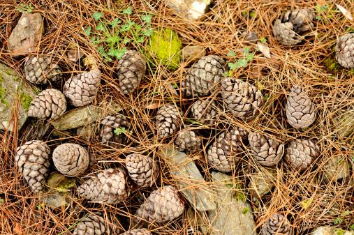 Pine Cone「Pine cones on forest ground」:スマホ壁紙(12)