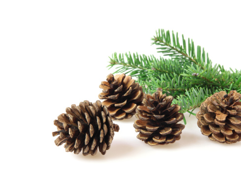Pine Cone「Pine cones and branch」:スマホ壁紙(10)