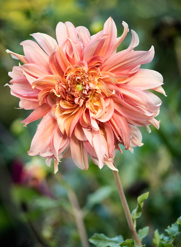 flower「Dahlia 'Sonic Bloom' Flower Close-up」:スマホ壁紙(6)