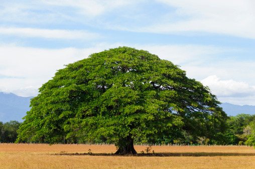 Tree「Giant tree in empty field, Guanacaste, Costa Rica」:スマホ壁紙(19)