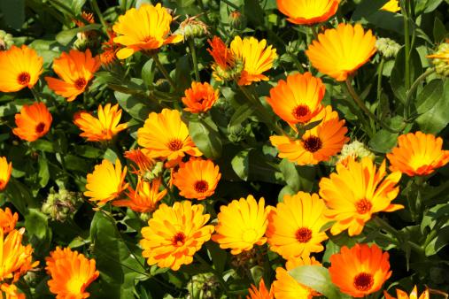 Pot Marigold「Germany, Calendula flowers」:スマホ壁紙(16)