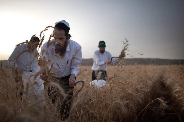 Cereal Plant「Orthodox Jews Harvest Wheat For Next Year's Passover」:写真・画像(4)[壁紙.com]