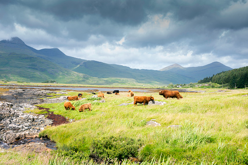 Horned「Highland Cattle roaming free on the Isle of Mull, Inner Hebrides, Scotland」:スマホ壁紙(3)