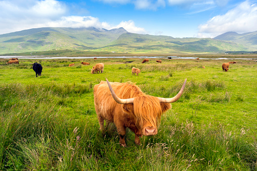 Horned「Highland Cattle roaming free on the Isle of Mull, Inner Hebrides, Scotland」:スマホ壁紙(15)