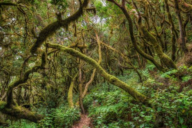 Laurisilva / Fog forest in Garajonay National Park in La Gomera / Spain:スマホ壁紙(壁紙.com)