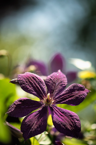 flower「Clematis viticella 'Royal Purple'」:スマホ壁紙(10)