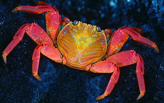 ガラパゴス諸島「Sally lightfoot crab (grapsus grapsus) close up」:スマホ壁紙(2)