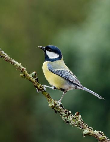 Bird「Geat Tit perching on a twig」:スマホ壁紙(4)