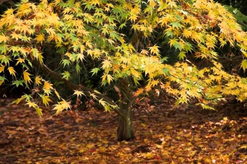 Japanese Maple「Golden Acer」:スマホ壁紙(2)