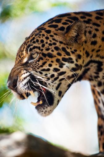 Central America「Jaguar (Panthera onca), Honduras, Captive」:スマホ壁紙(1)