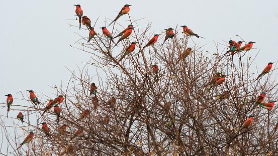 Caprivi Strip「Southern carmine bee-eater on a bush near the bank of Zambesi river, Caprivi, Namibia」:スマホ壁紙(13)