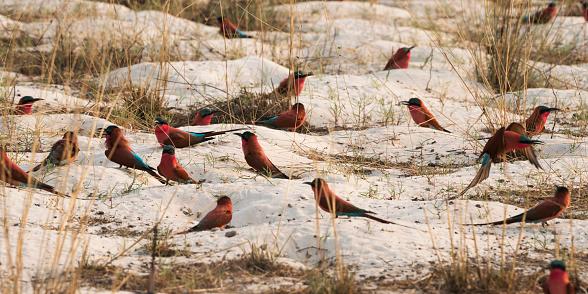 Caprivi Strip「Southern carmine bee-eater on ground near Zambezi river」:スマホ壁紙(15)