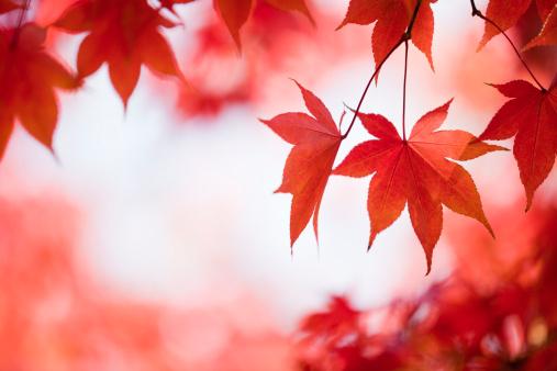 Japanese Maple「Autumn Red Colors」:スマホ壁紙(1)