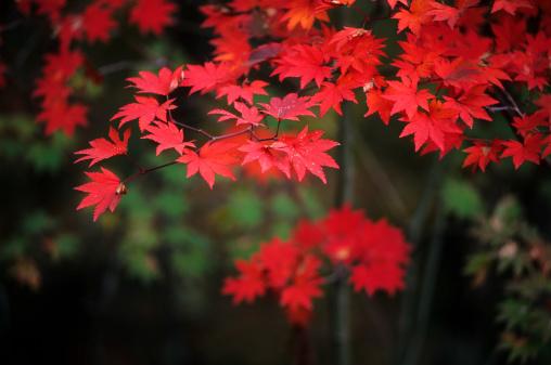 紅葉「Autumn 赤の葉」:スマホ壁紙(6)