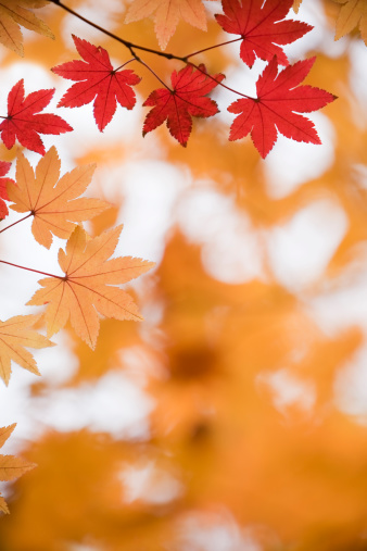 Japanese Maple「Autumn Red Leaves」:スマホ壁紙(13)