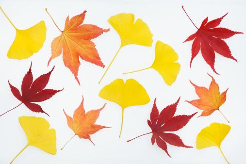 イチョウ「Autumn; red maple and yellow ginkgo leaves」:スマホ壁紙(17)