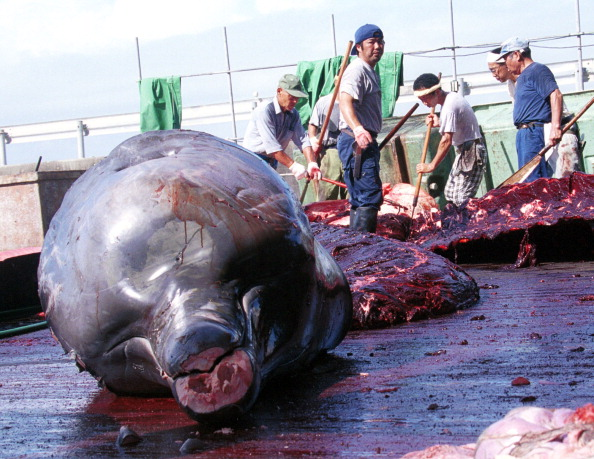 Japan「A Whale is Harvested in Japan」:写真・画像(12)[壁紙.com]
