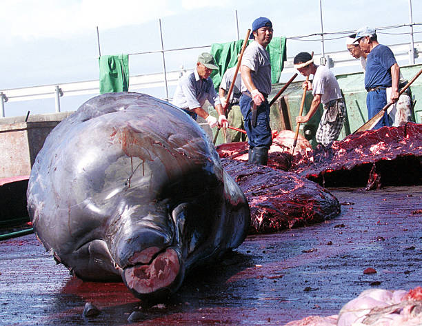 A Whale is Harvested in Japan:ニュース(壁紙.com)