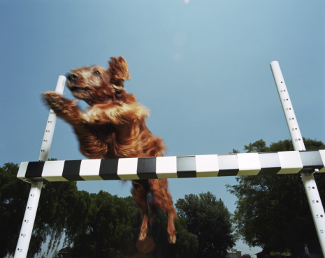 Dog Agility「Irish Setter jumping over obstacle at dog show, low angle view」:スマホ壁紙(6)