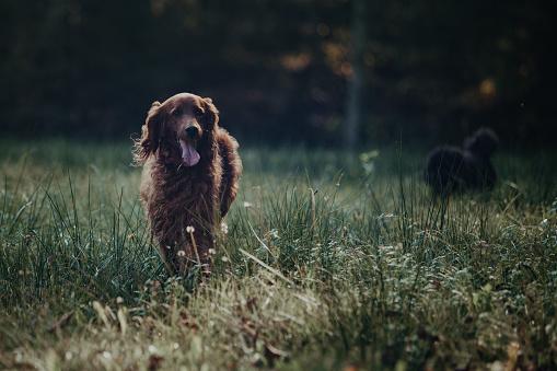 Animals Hunting「Irish Setter」:スマホ壁紙(17)