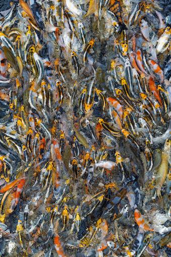 Carp「Vibrant coloured Koi Carp feeding seen from above, Oxfordshire, England, United Kingdom」:スマホ壁紙(11)