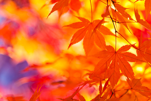 Japanese Maple「Vibrant Colors of Autumn Leaves」:スマホ壁紙(17)