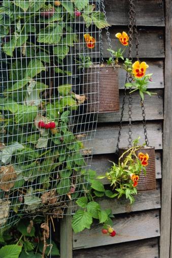 July「Fruit wire cage over Raspberry (Rubus idaeusvar. glen prosen), july」:スマホ壁紙(11)