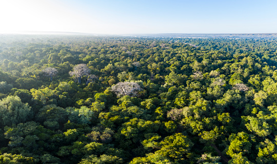 Variegated Foliage「Beautiful aerial view of large baobab trees in a tropical rain forest canopy, Central Africa」:スマホ壁紙(7)