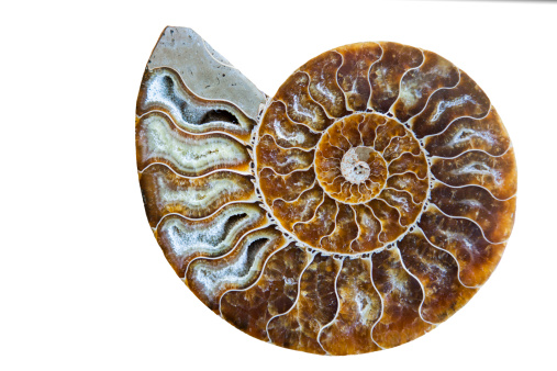 Mollusk「Beautiful Ammonite Fossil Shell Isolated on White」:スマホ壁紙(4)