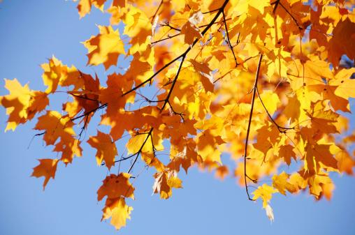 紅葉「Beautiful Autumn Maple Leaves」:スマホ壁紙(15)
