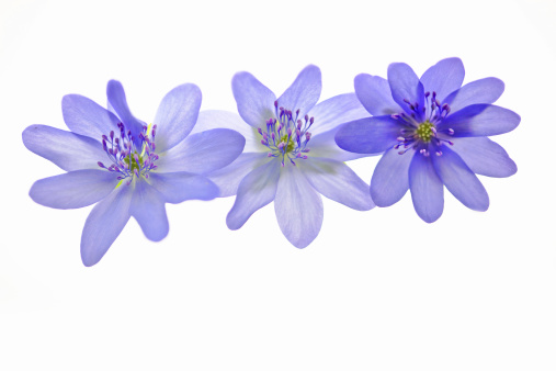 Uncultivated「Beautiful anemone flowers - Hepatica Nobilis on white」:スマホ壁紙(1)