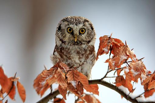 Branch「Boreal Owl, (Aegolius funereus)」:スマホ壁紙(14)