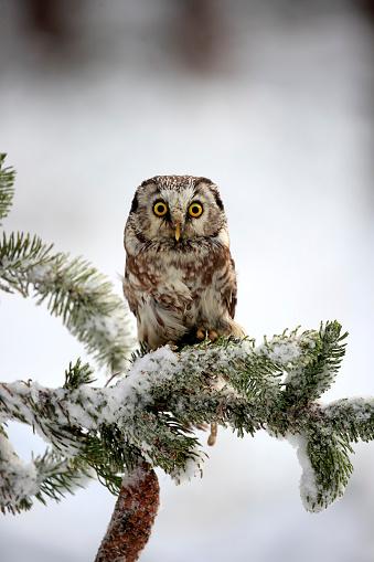 Branch「Boreal Owl, (Aegolius funereus)」:スマホ壁紙(13)