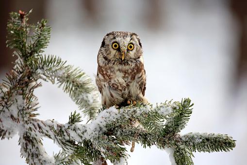 Branch「Boreal Owl, (Aegolius funereus)」:スマホ壁紙(16)
