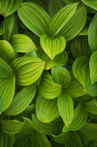 Corn Lilly「False helebore (Veratrum viride) Corn Lily」:スマホ壁紙(4)