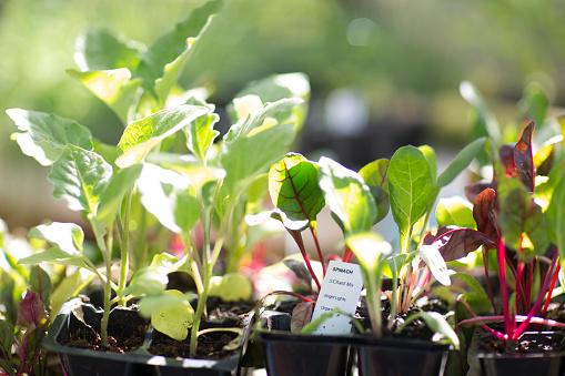 Spinach「Spinach seedlings」:スマホ壁紙(17)