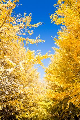 イチョウ「Autumn ディスの木」:スマホ壁紙(4)