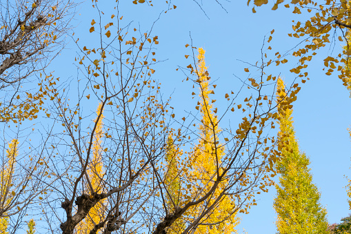 明治神宮外苑「Autumn Ginkgo leaves are shaking in the blue sky by wind at front of rows of Ginkgo Trees at the Gingko tree Avenue in Jingu Gaien, Chhiyoda Ward, Tokyo Japan on November 17 2017.」:スマホ壁紙(6)