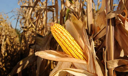 Corn - Crop「Sweetcorn growing in a cornfield under a blue sky」:スマホ壁紙(14)