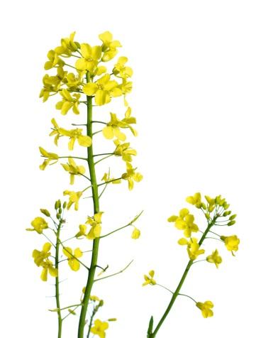 アブラナ「Rapeflower 植物」:スマホ壁紙(10)