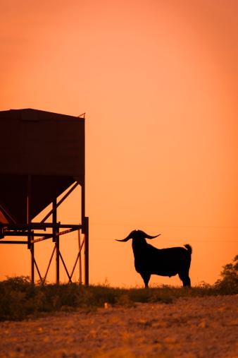 Focus On Background「USA, Texas, Long horned goat standing next to feeder」:スマホ壁紙(0)