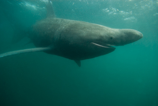 Isle of Man「Basking Shark (Cetorhinus maximus) feeding on plankton, Isle of Man, UK」:スマホ壁紙(11)