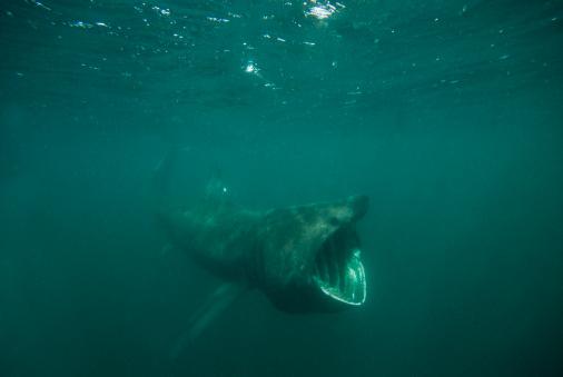 Isle of Man「Basking Shark (Cetorhinus maximus) feeding on plankton, Isle of Man, UK」:スマホ壁紙(3)