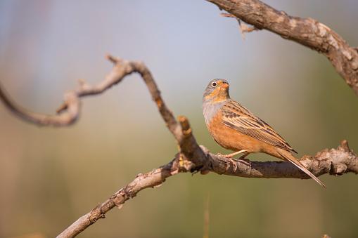Bird「Male Cretzschmar's bunting (Emberiza caesia)」:スマホ壁紙(10)