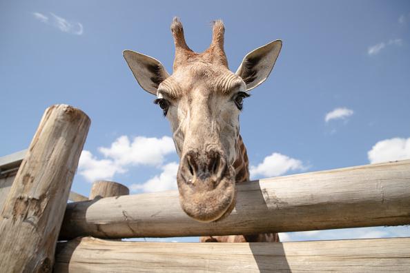 Giraffe「Behind The Scenes At Sydney Zoo」:写真・画像(8)[壁紙.com]