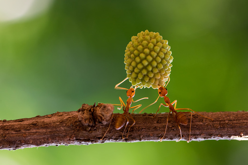 Effort「Two ants on a branch lifting a heavy plant, Indonesia」:スマホ壁紙(7)