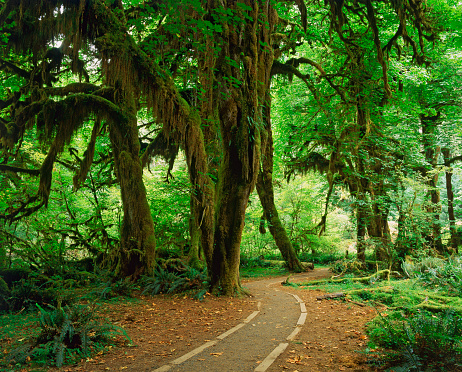 Eco Tourism「Giant big leaf maples (Acer macrophyllum) drapped in spanish moss」:スマホ壁紙(13)